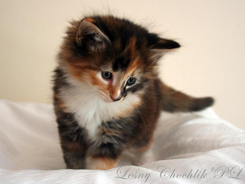 Kot norweski leśny Astrid Leśny Chochlik*PL - 6 tygodni