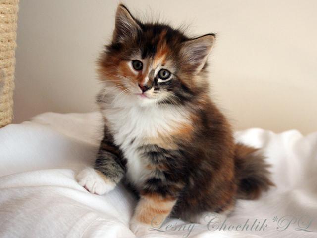 Kot norweski leśny Astrid Leśny Chochlik*PL - 7 tygodni