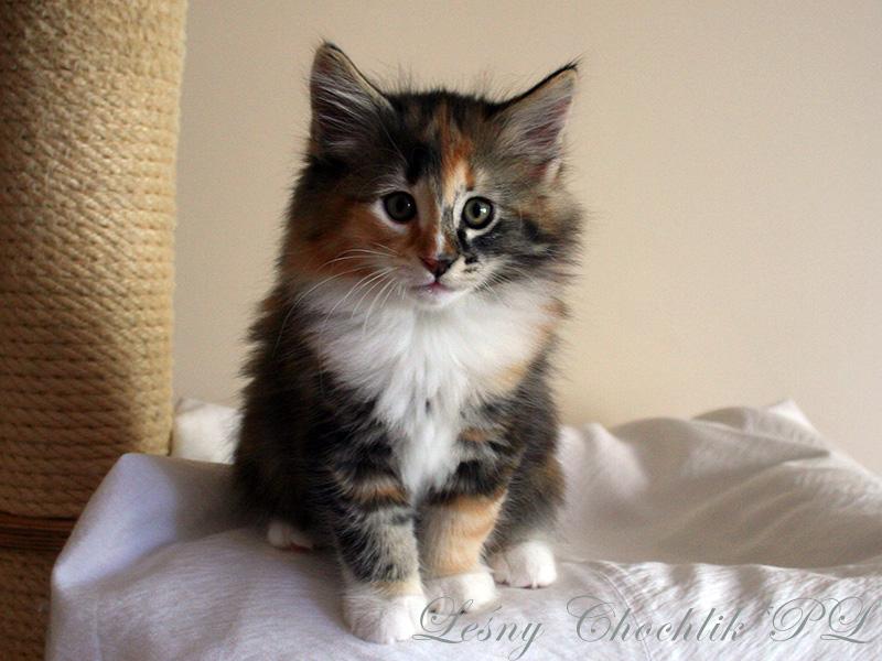 Kot norweski leśny Astrid Leśny Chochlik*PL - 8,5 tygodnia