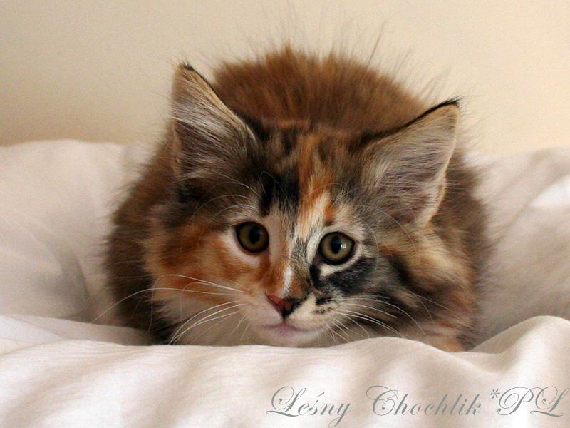 Kot norweski leśny Astrid Leśny Chochlik*PL - 10 tygodni