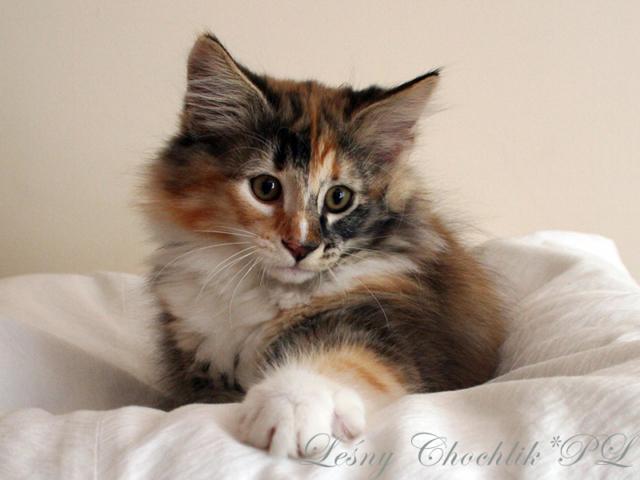 Kot norweski leśny Astrid Leśny Chochlik*PL - 11,5 tygodnia