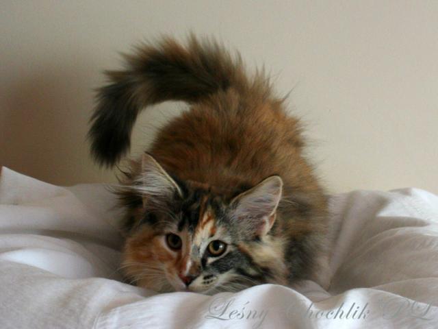 Kot norweski leśny Astrid Leśny Chochlik*PL - 14 tygodni
