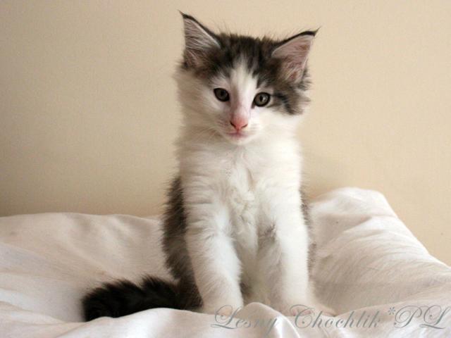 Kot norweski leśny Beryl Leśny Chochlik*PL - 7 tygodni