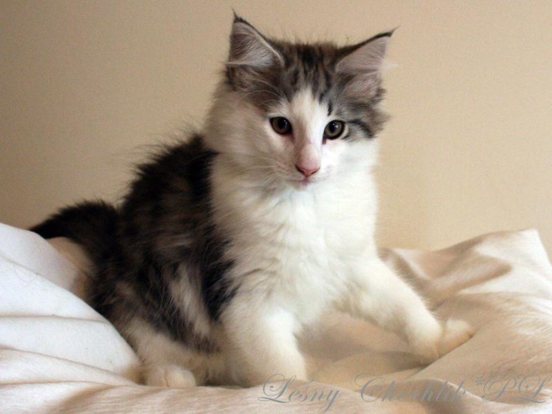Kot norweski leśny Beryl Leśny Chochlik*PL - 11 tygodni