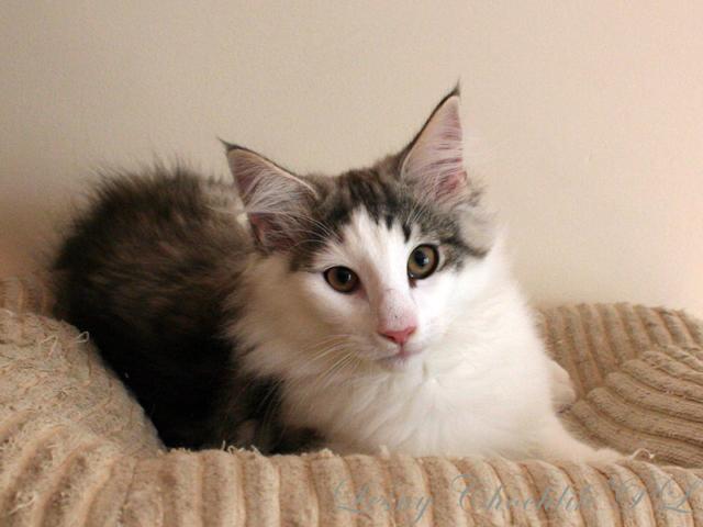 Kot norweski leśny Beryl Leśny Chochlik*PL - 14 tygodni