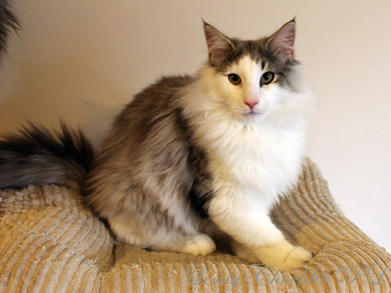 Kot norweski leśny Beryl Leśny Chochlik*PL - 22 tygodnie