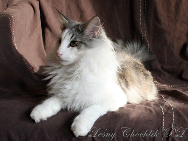 Kot norweski leśny Beryl Leśny Chochlik*PL - 26 tygodni