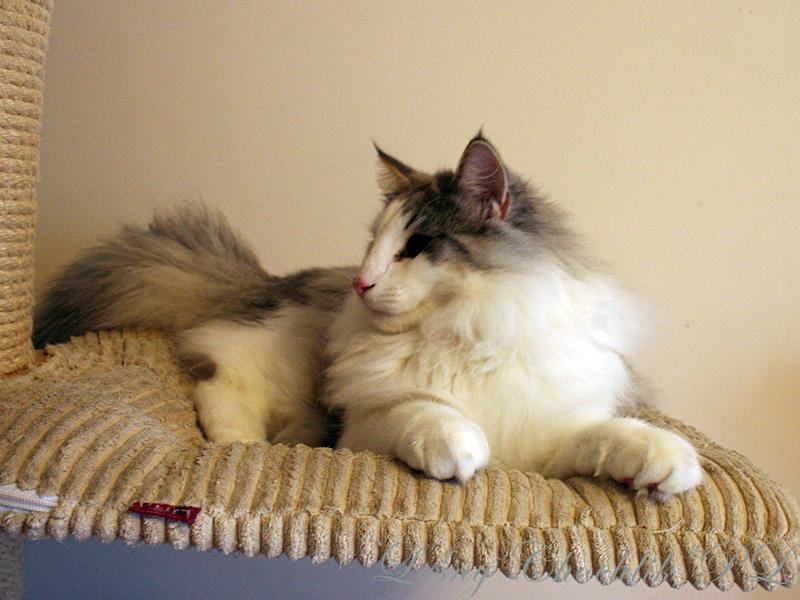 Kot norweski leśny Beryl Leśny Chochlik*PL - 30 tygodni