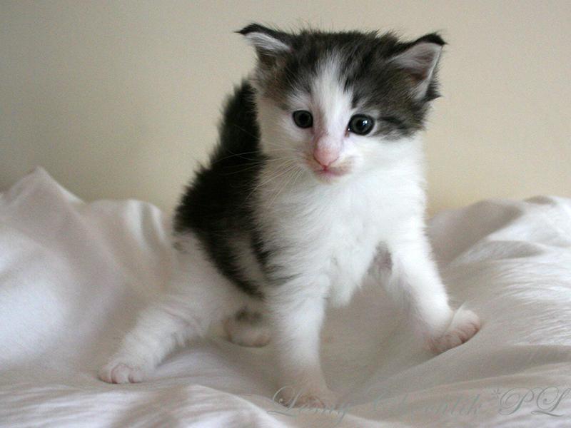 Kot norweski leśny Beryl Leśny Chochlik*PL - 5 tygodni