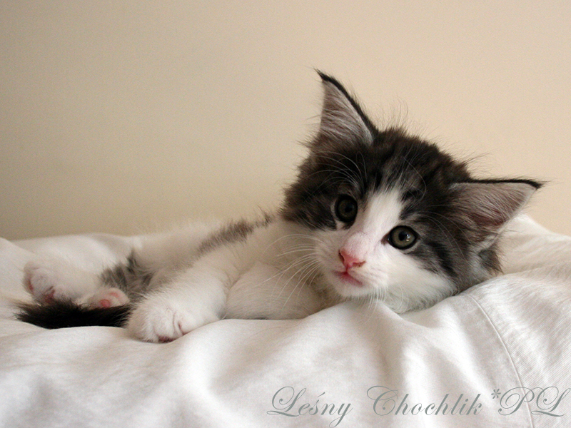 Kot norweski leśny Bizmut Leśny Chochlik*PL - 7 tygodni