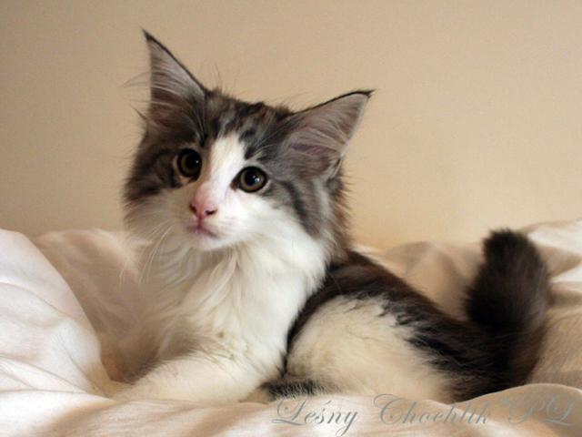Kot norweski leśny Bizmut Leśny Chochlik*PL - 11 tygodni