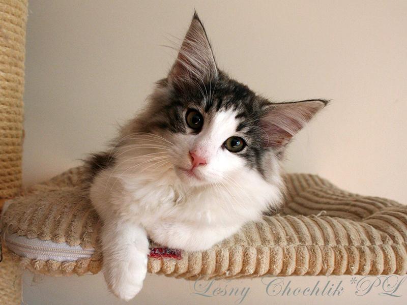 Kot norweski leśny Bizmut Leśny Chochlik*PL - 14 tygodni