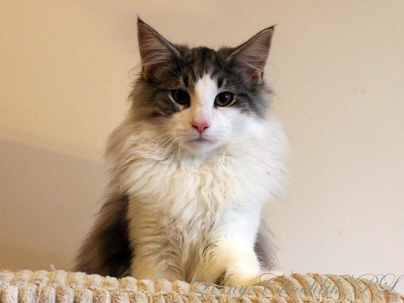 Kot norweski leśny Bizmut Leśny Chochlik*PL - 22 tygodnie