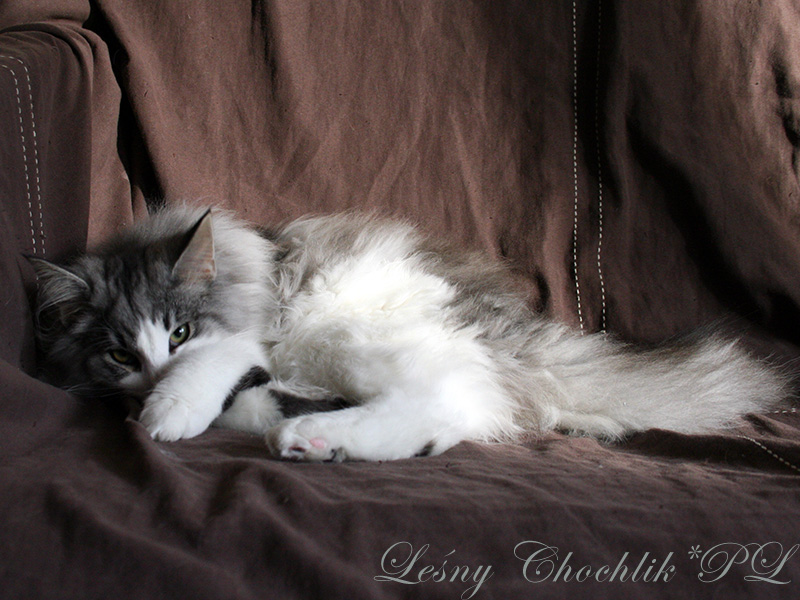 Kot norweski leśny Bizmut Leśny Chochlik*PL - 26 tygodni