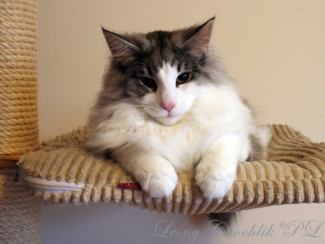 Kot norweski leśny Bizmut Leśny Chochlik*PL - 30 tygodni