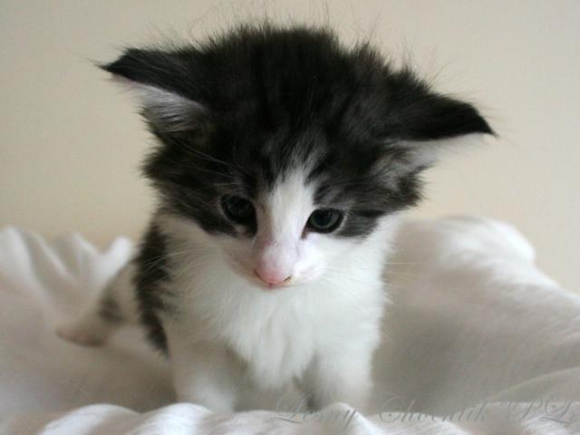Kot norweski leśny Bizmut Leśny Chochlik*PL - 5 tygodni