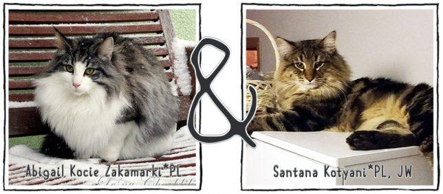 Koty norweskie leśne Abigail Kocie Zakamarki*PL oraz Santana Kotyani*PL
