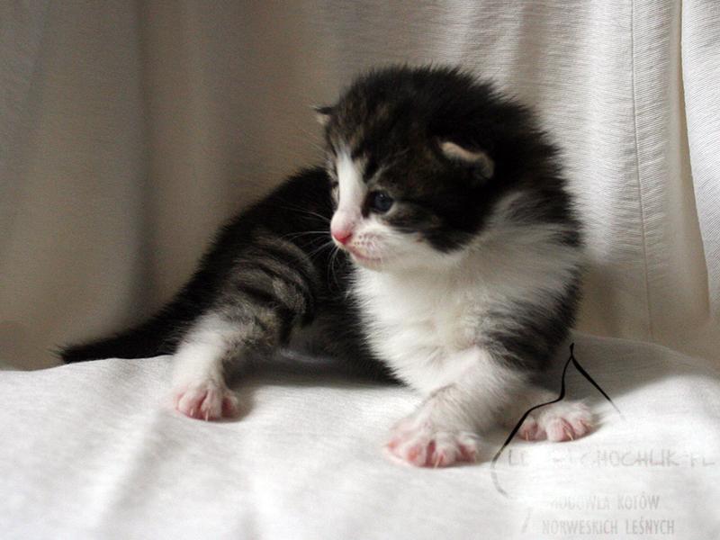 Kot norweski leśny Cha-Cha Leśny Chochlik*PL - 2 tygodnie