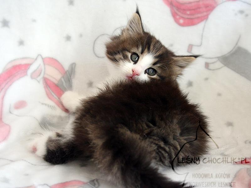 Kot norweski leśny Cha-Cha Leśny Chochlik*PL - 6 tygodni