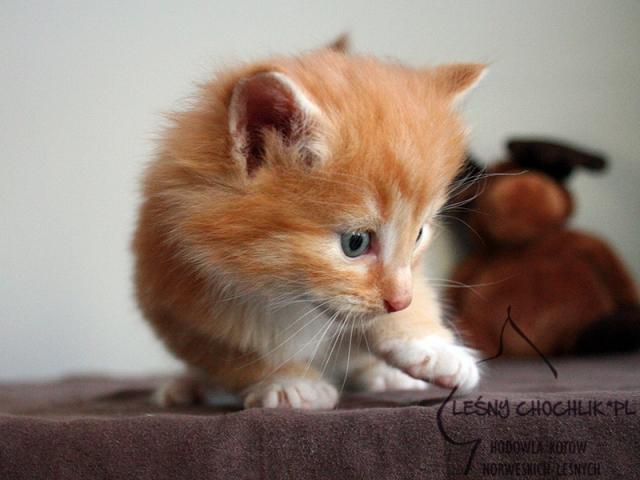 Kot norweski leśny Dactylis Leśny Chochlik*PL - 4 tygodnie