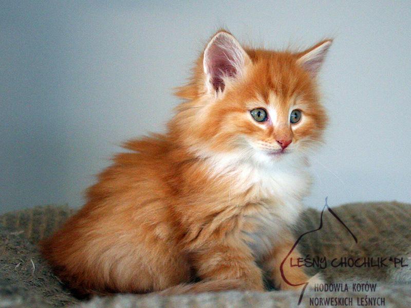 Kot norweski leśny Dactylis Leśny Chochlik*PL - 7 tygodni