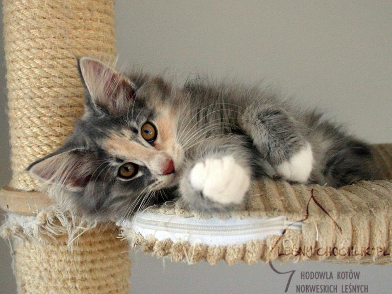 Kot norweski leśny Dahlia Leśny Chochlik*PL - 11 tygodni