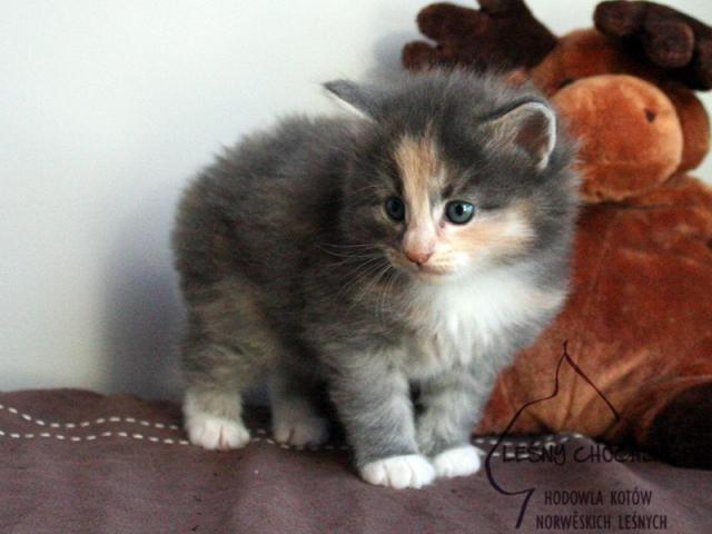 Kot norweski leśny Dahlia Leśny Chochlik*PL - 4 tygodnie