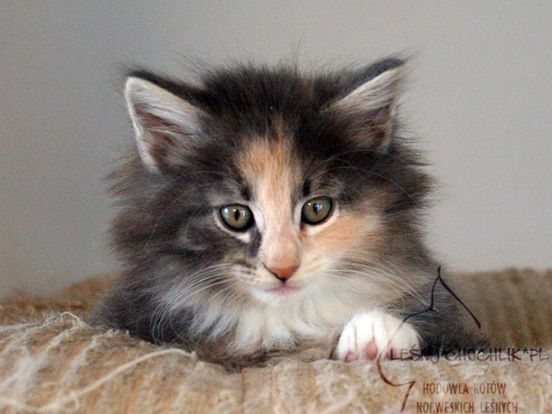 Kot norweski leśny Dahlia Leśny Chochlik*PL - 7 tygodni