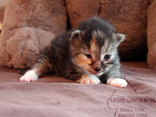 Kot norweski leśny Diascia Leśny Chochlik*PL - 10 dni