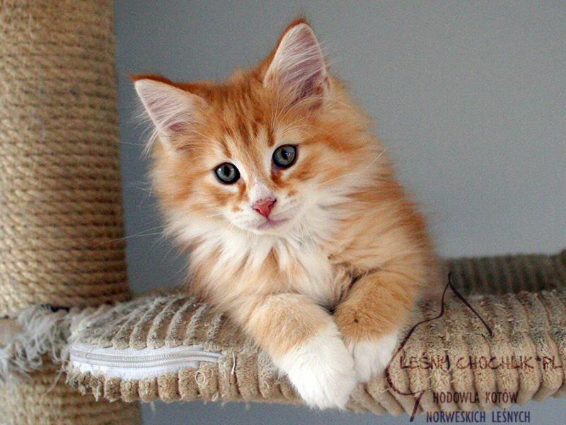 Kot norweski leśny Dianthus Leśny Chochlik*PL - 11 tygodni