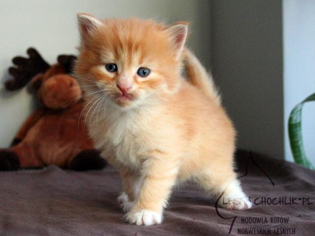 Kot norweski leśny Dianthus Leśny Chochlik*PL - 4 tygodnie