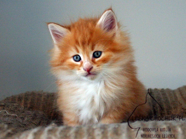 Kot norweski leśny Dianthus Leśny Chochlik*PL - 7 tygodni