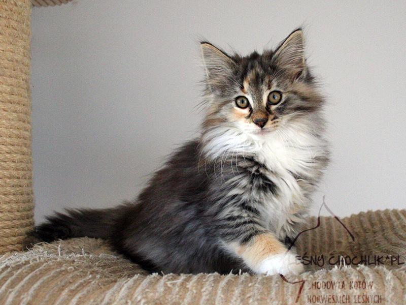 Kot norweski leśny Diascia Leśny Chochlik*PL - 11 tygodni