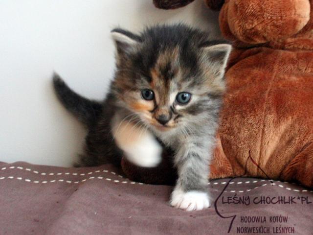Kot norweski leśny Diascia Leśny Chochlik*PL - 4 tygodnie