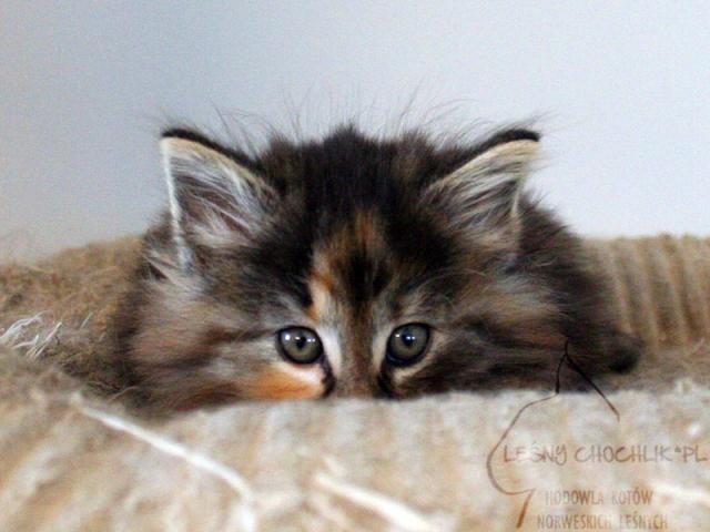 Kot norweski leśny Diascia Leśny Chochlik*PL - 7 tygodni