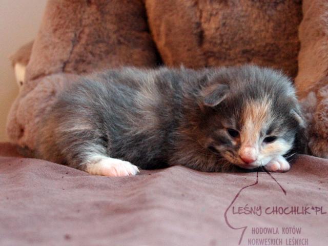 Kot norweski leśny Dahlia Leśny Chochlik*PL - 10 dni