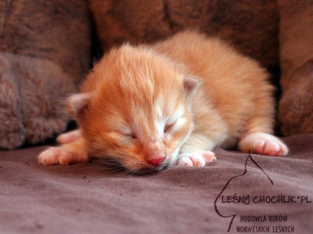 Kot norweski leśny Dactylis Leśny Chochlik*PL - 10 dni