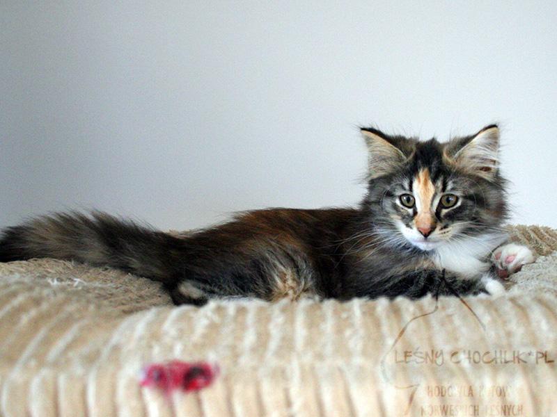 Kot norweski leśny Draceana Leśny Chochlik*PL - 11 tygodni