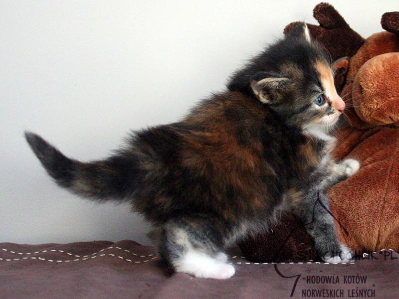 Kot norweski leśny Draceana Leśny Chochlik*PL - 4 tygodnie
