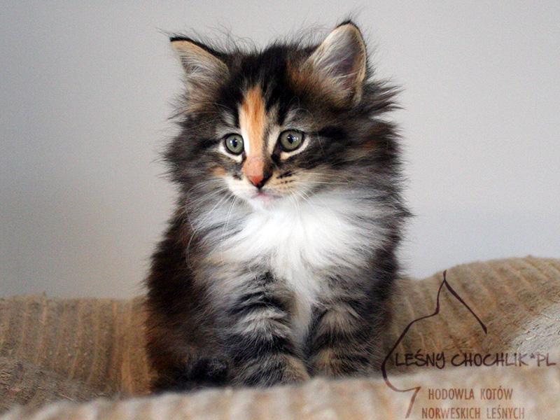 Kot norweski leśny Draceana Leśny Chochlik*PL - 7 tygodni
