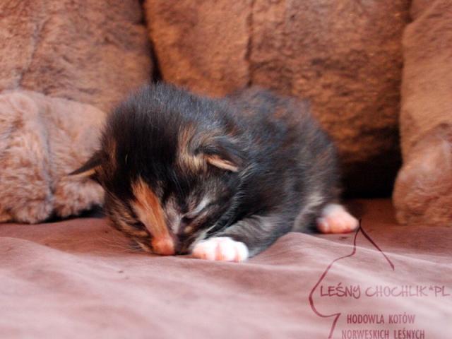 Kot norweski leśny Draceana Leśny Chochlik*PL - 10 dni