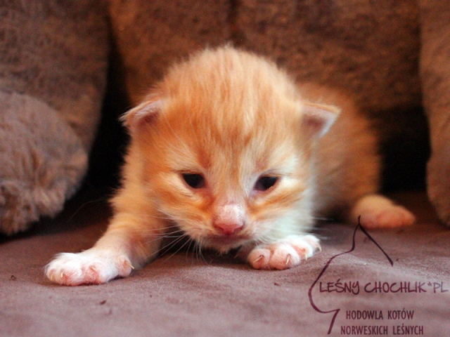 Kot norweski leśny Dianthus Leśny Chochlik*PL - 10 dni