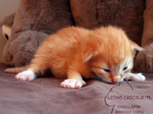 Kot norweski leśny Dryas Leśny Chochlik*PL - 10 dni