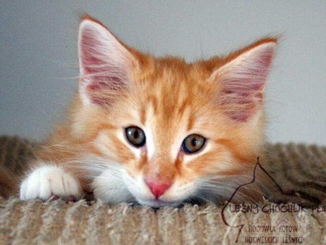Kot norweski leśny Dryas Leśny Chochlik*PL - 11 tygodni