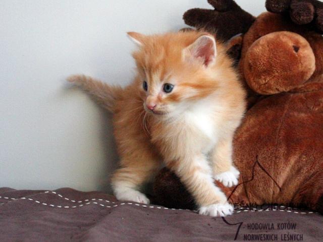 Kot norweski leśny Dryas Leśny Chochlik*PL - 4 tygodnie