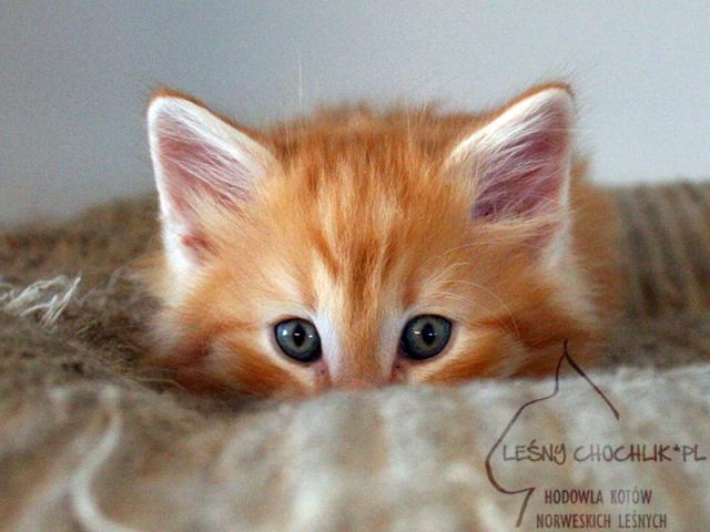 Kot norweski leśny Dryas Leśny Chochlik*PL - 7 tygodni
