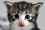 Kociak norweski leśny - kocur - Ebeko Leśny Chochlik*PL