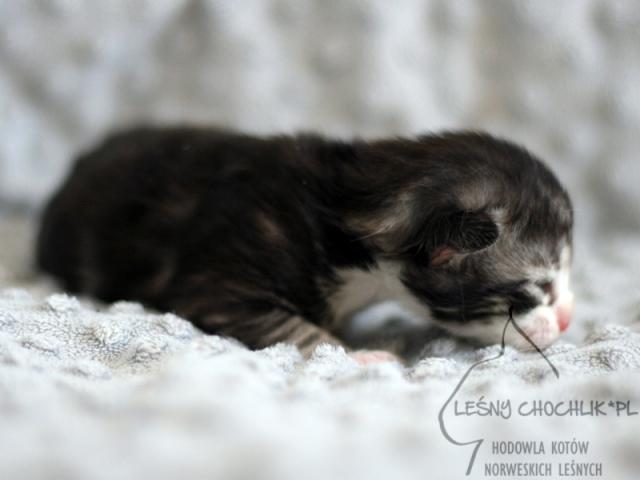 Kot norweski leśny Ebeko Leśny Chochlik*PL - 1 tydzień