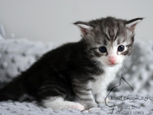 Kot norweski leśny Ebeko Leśny Chochlik*PL - 3 tygodnie