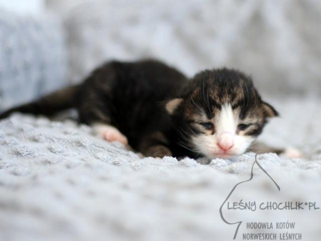 Kot norweski leśny Erebus Leśny Chochlik*PL - 1 tydzień